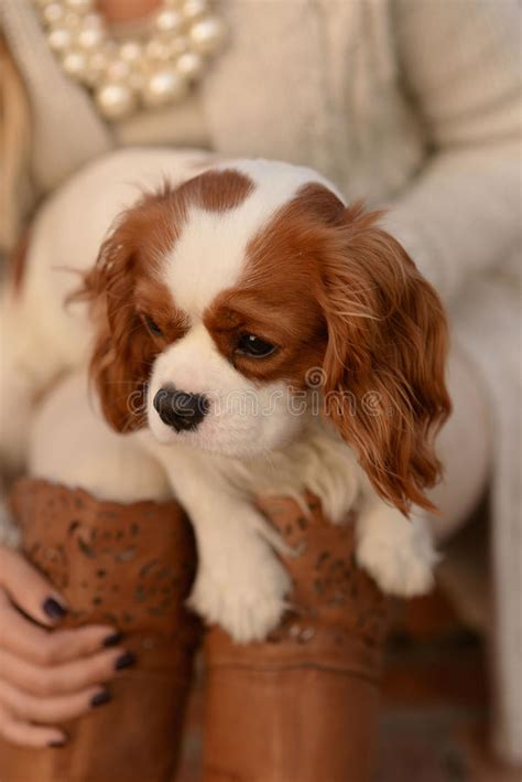 Cavalier King Charles Spaniel Dog Puppy Is Sitting In A