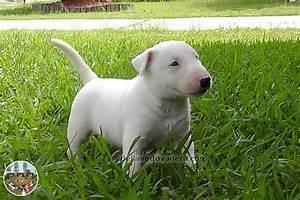 Allevamento Bull Terrier Vendita cuccioli Bull Terrier