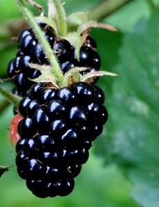 Beware Of Poisoned Blackberries