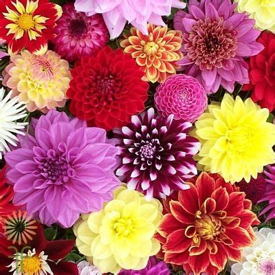 dahlias field assorted wholesale flowers diy wedding