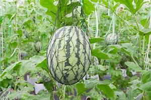 Wassermelone Anbau Balkon : wassermelone im gew chshaus ziehen so geht 39 s ~ Watch28wear.com Haus und Dekorationen