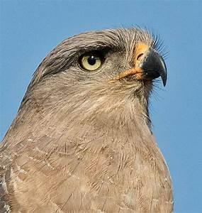 Southern Banded Snake Eagle