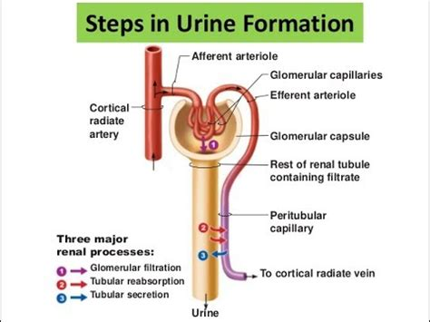 the three processes of urine formation youtube