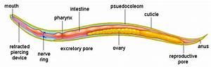Roundworm-ascaris Lumbricoides