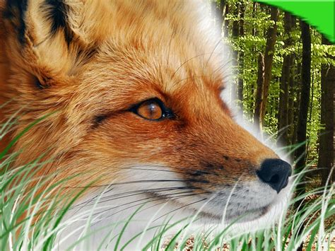 cool wallpapers red fox wallpapers