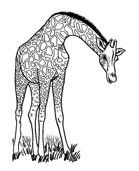 Coloring Jerapah by 78 Images About Coloring Pages On Coloring