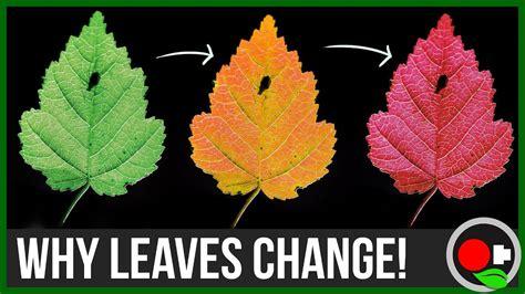 do change color why leaves change color untamed science