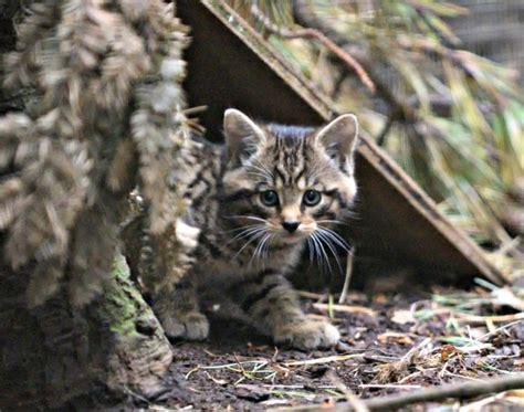 scottish kittens wildcats wildcat cat scotland zooborns highland wildlife born play vanishing boost