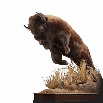 Bison Mount Kanati Bi101 Pose Lifesize Leaping