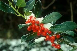 Strauch Mit Roten Beeren Im Winter : botanikus stechpalme ~ Frokenaadalensverden.com Haus und Dekorationen