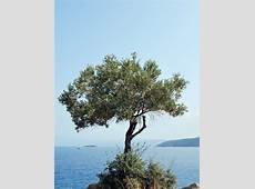 National Tree Of Italy Olive 123Countriescom