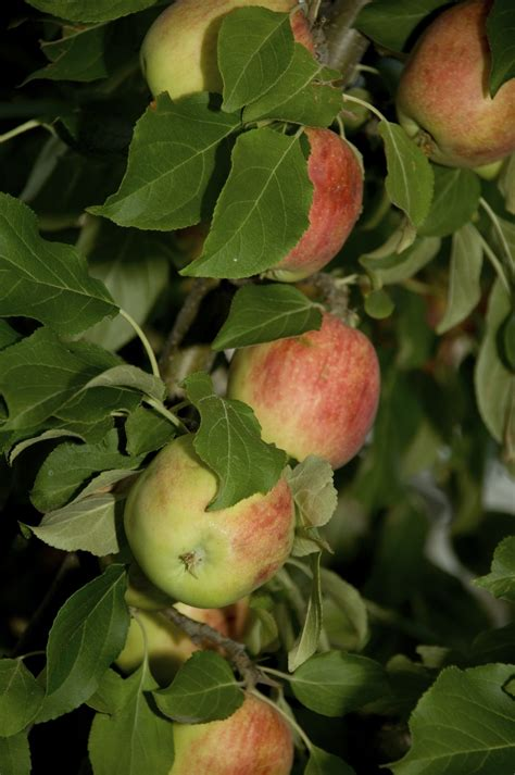 Zone 3 Apple Tree Varieties - Types Of Apple Trees For Zone 3