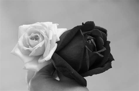 black rose wallpapers backgrounds