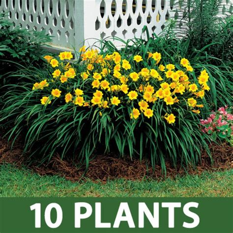 perennial border plants for sun stella de oro daylily sun perennials and flower