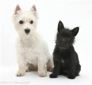 Black West Highland Terrier Puppy