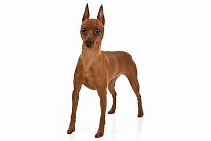 Pinscher Miniature Dog Breed Breeds Info Akc