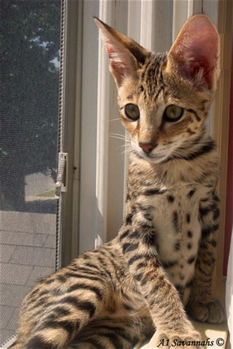 The Gallery For > F2 Savannah Cat For Sale