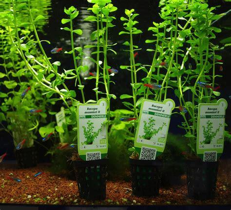 plantes aquarium eau douce tropicalfish 77 eau douce plantes aquatiques dennerle