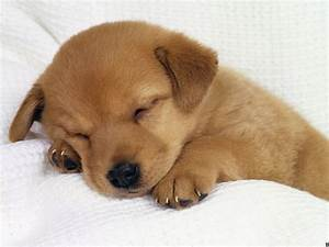 Cute Golden Retriever Puppies Pictures | Share The Knownledge