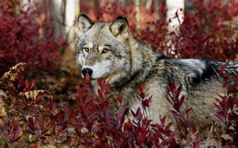 gray wolf wallpapers hd wallpapers id