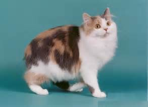 manx cats manx cat pictures and info