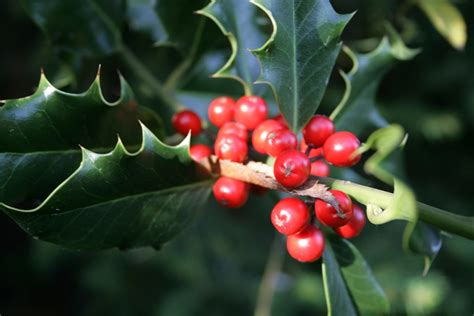 holly berries   christmas john flickr
