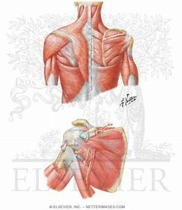 Muscles  Back And Scapula Region