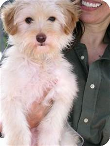 Butterscotch | Adopted Dog | Santa Monica, CA | Havanese ...
