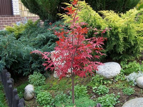 small japanese maple five small to medium trees that can fit in small spaces