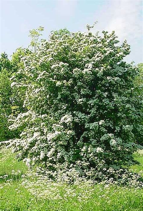 hawthorn tree hawthorn tree pictures facts images on hawthorn trees