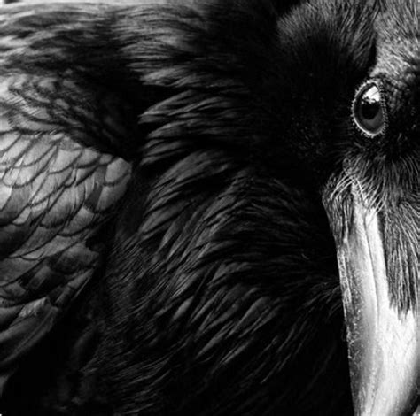 62 Best Images About Ravens On Pinterest  Social Order, Wildlife Photography And Strike A Pose