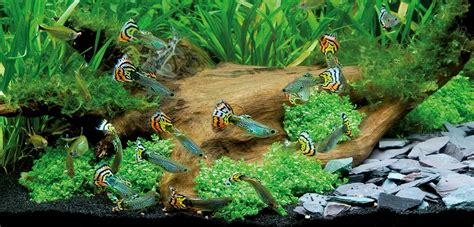 aquarium eau douce guppy