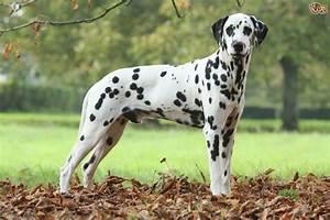 Dalmatian | Dog Breed Facts, Highlights & Advice | Pets4Homes