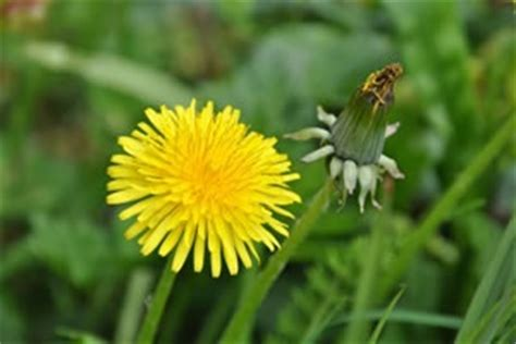 how to get rid of dandelions learn how to get rid of dandelions in your garden with the