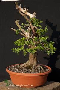Nebari Development And Shallow Roots For Bonsai  U2013 Growing