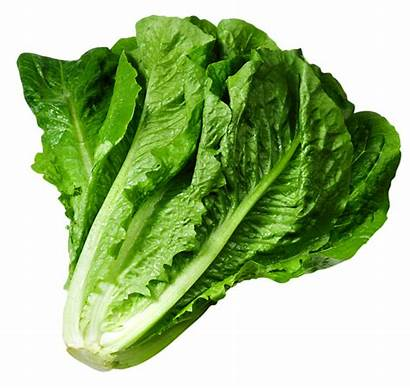 Lettuce Selada Romaine Growing Benih Di Vegetables