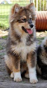 Dog Breed That Looks Like A Wolf