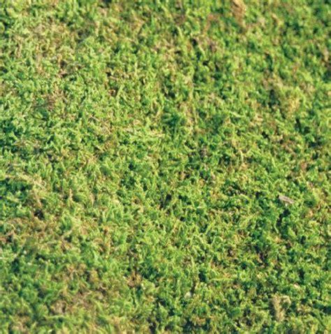 how to grow sheet moss premium wholesale sheet moss mossman inc