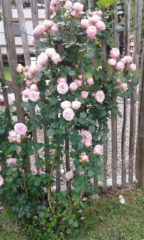 kletterrose giardina finde deine neue rose