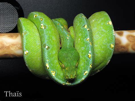 green tree python collection viridispython
