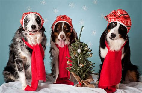 owners  buy christmas presents   pets nature