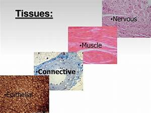 Tissue In The Human Body Types   Biological Science