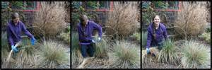stop don t prune that grass how to prune ornamental grasses right