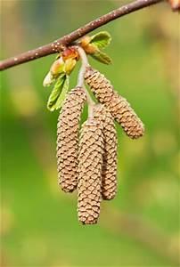 Fuchsien Stecklinge Kaufen : haselnussbaum baum hasel haselnuss pflege anleitung ~ Michelbontemps.com Haus und Dekorationen