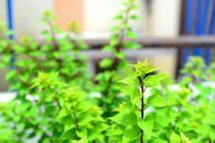Anthurie Blüht Nicht : drillingsblume als bonsai erziehen so geht 39 s bougainvillea ~ Frokenaadalensverden.com Haus und Dekorationen