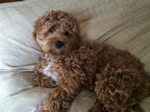 curly low shedding cockapoo puppy puppies for sale