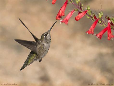 hummingbird flowers hummingbird with flowers