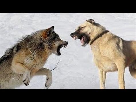 Kangal Dog vs Wolf