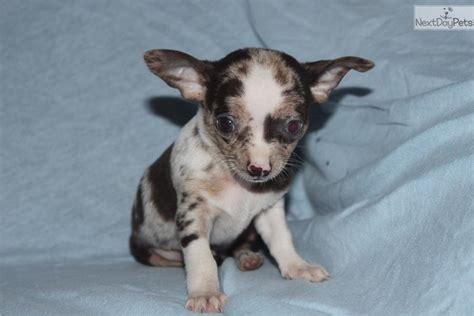 meet male  cute chihuahua puppy  sale   rare