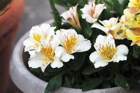 alstroemeria lasting beautiful the radish patch